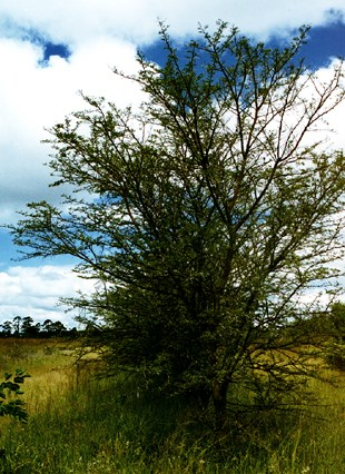 Sweet thorn planted in Bulawayo, Zimbabwe after 12 years (6 m high; d.b.h. 10 cm).