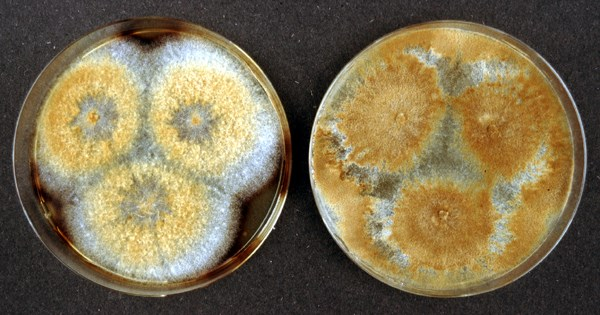 Vegetative cultures of P. igniarius on malt extract agar after a 3-week incubation period.