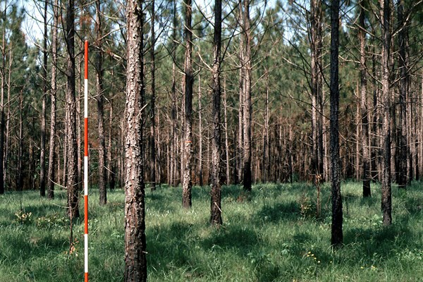 A 13-year-old plantation that was precommercially thinned to about 1200 trees/ha at age 5 years.