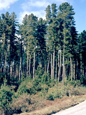 Old plantation-grown trees (ca. 50 years old) that have almost reached their ultimate height, showing rounded tops and general crown habit.