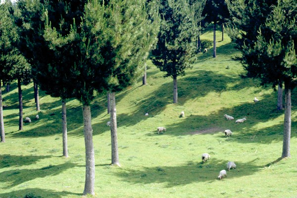 Sheep grazing under P. radiata. In this case the stocking of the trees is low, to allow continued production of pasture rather than just a yield in place of low-value thinnings.