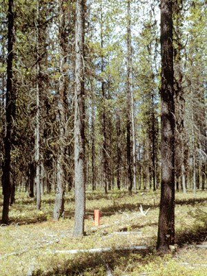 A typical, naturally regenerated, unmanaged, open-canopy, maturing (±80-year-old) stand of P. contorta, which has developed after a large-scale wildfire on a montane, water-deficient, nutrient-poor site in central British Columbia.