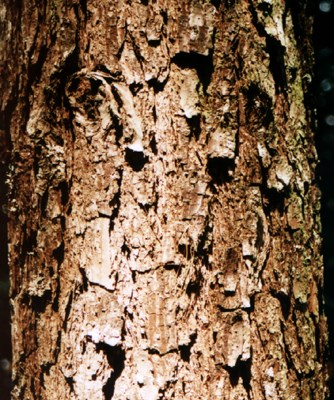 Typical bark at 33 years in Zimbabwe, altitude 1650 m a.s.l.
