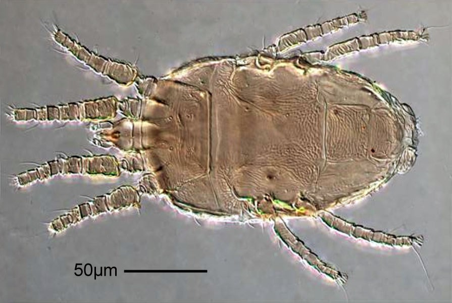 Brevipalpus lewisi (citrus flat mite); adult, ventral view. Note scale. Prodorsal projection extending beyond middle of femur I; medial and lateral region of prodorsum rugose; dorsolateral region subareolate rugose; hysterosoma with 6 pairs of dorsolateral setae (f2 present); central region between c1 and d1 rugose. Palp 4-segmented, with 3 setae on distal segment. Tarsus II with 2 omega.