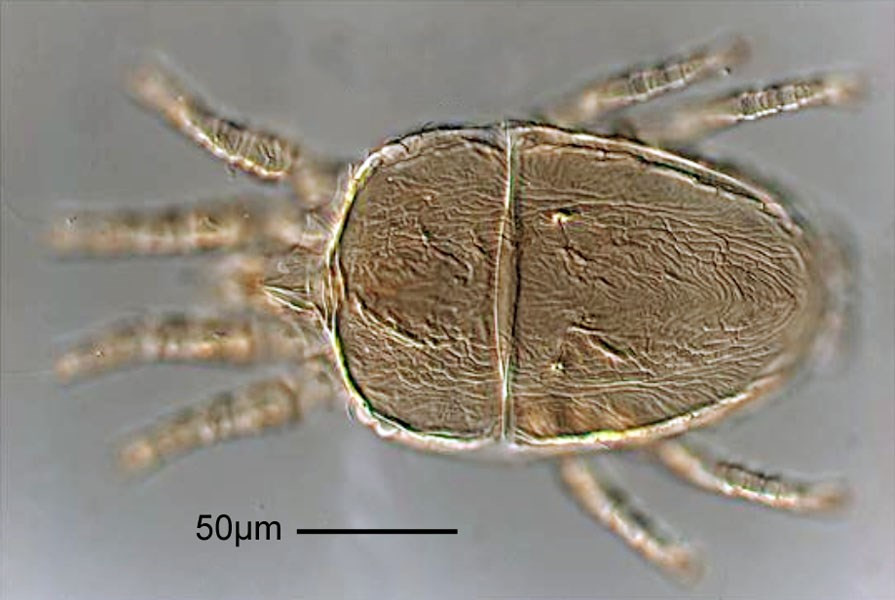 Brevipalpus lewisi (citrus flat mite); adult, dorsal view. Note scale. Prodorsal projection extending beyond middle of femur I; medial and lateral region of prodorsum rugose; dorsolateral region subareolate rugose; hysterosoma with 6 pairs of dorsolateral setae (f2 present); central region between c1 and d1 rugose. Palp 4-segmented, with 3 setae on distal segment. Tarsus II with