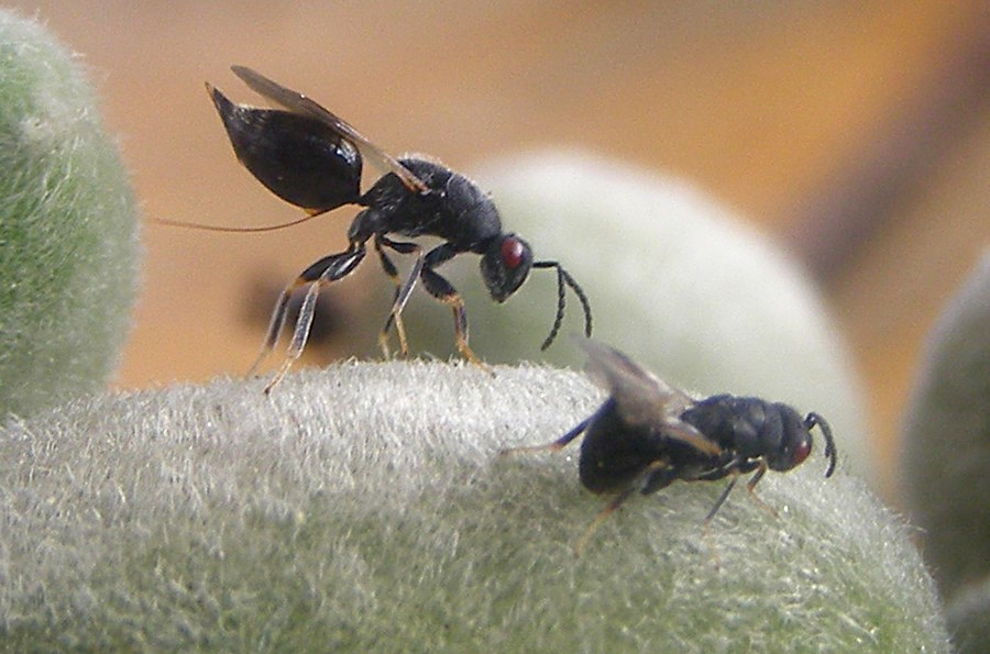Eurytoma amygdali (almond fruit wasp); natural enemy and pest. A female wasp withdraws its ovipositor from an almond. (photographed under controlled conditions). March 2008.