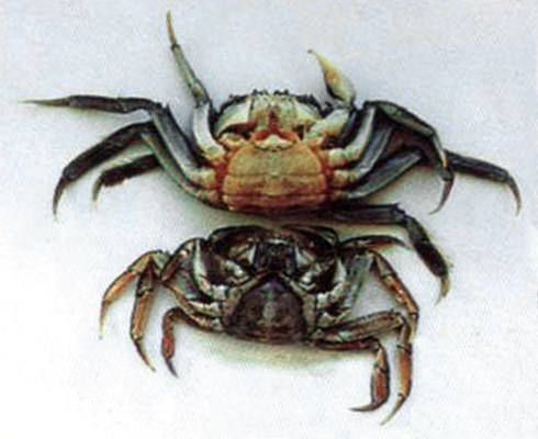 Eriocheir sinensis (Chinese mitten crab); shape of mature and pre-mature female crab. An adult female's apron is broad and rounded while that of an immature female is more triangular.