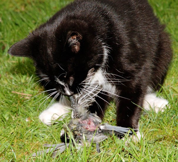 Felis catus (cat); cat eating a bird (Great tit, Parus major).