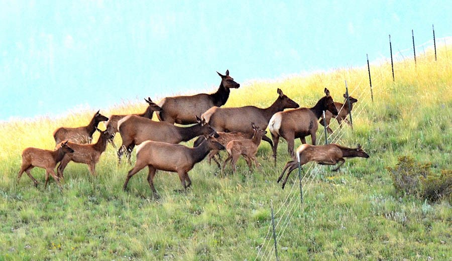 Cervus canadensis (wapiti); cows (hinds) and calves,jumping a fence. Valles Caldera, New Mexico, USA. August 2014.