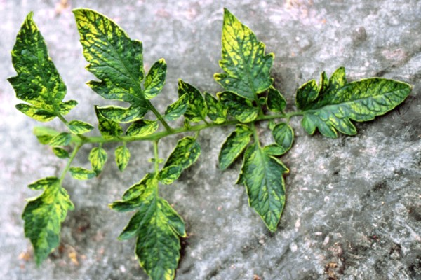Mosaic and chlorosis on old tomato leaves induced by PepMV.