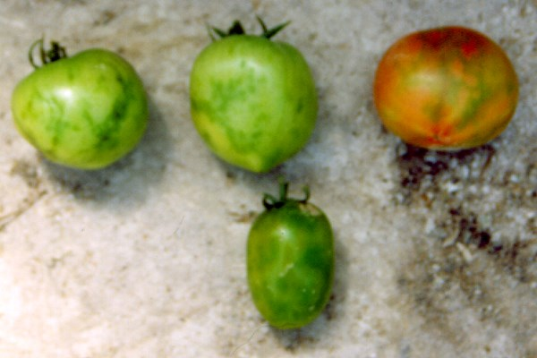 Symptoms on immature and mature tomato fruits induced by PepMV.
