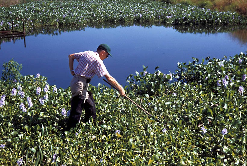 Anopheles quadrimaculatus (common malaria mosquito); water hyacinth in a Louisiana (USA) pond can act as a breeding ground for Anopheles quadrimaculatus, Mansonia and Culex mosquitoes, which anchor onto the plants, and are protected from
