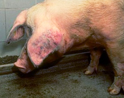 Sow experimentally infected with PRRS virus showing depression, anorexia and ear discolouration.