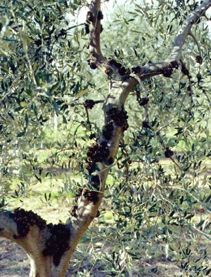 Old knots on the main branches of an olive tree.
