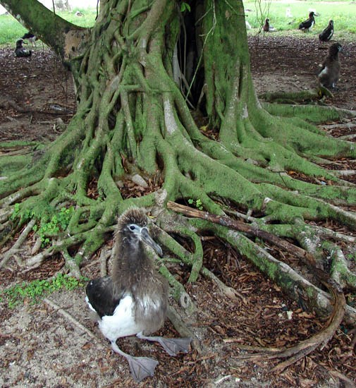 Ficus microcarpa (Indian laurel tree); habit, showing base of tree, with Laysan albatross chick. Sand Island, Midway Atoll, Hawaii, USA. June 2008.