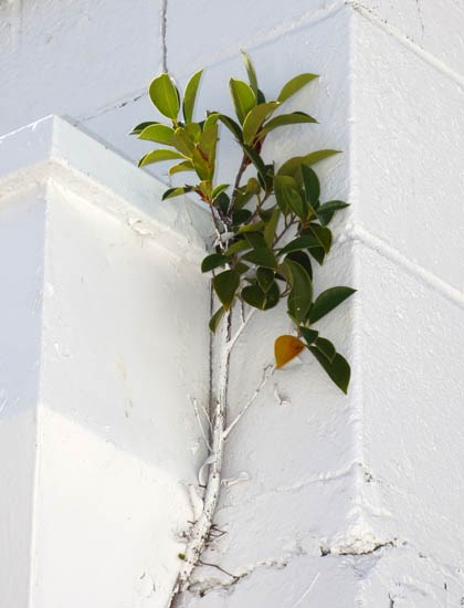 Ficus microcarpa (Indian laurel tree); habit, on a building. Sand Island, Midway Atoll, Hawaii, USA. March 2015.