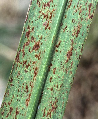 Pustules of orange rust on an affected leaf of the susceptible cultivar Q124.