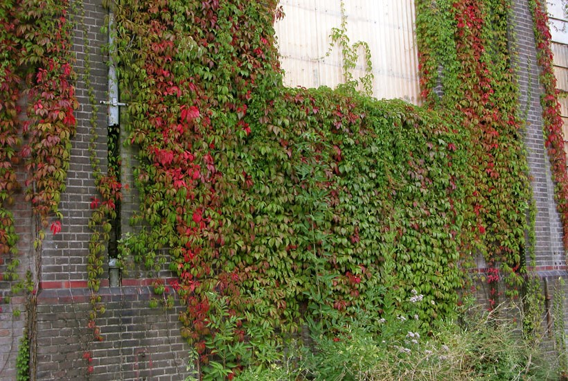 Parthenocissus quinquefolia (Virginia creeper); habit, and foliage. Haarlem, Netherlands. August 2005.