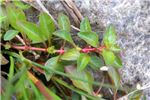 Oidium mangiferae