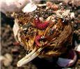 Larval damage to garlic head
