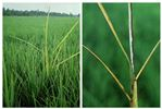 Symptoms on rice leaves