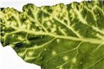 Symptoms on sugarbeet leaf