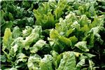 Symptoms on sugarbeet plants