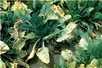 Symptoms on sugarbeet leaves