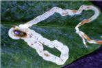Leaf mines on Pisum sp.