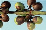 Sporulation on coffee berries (detail)