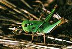 Fifth-instar hopper, solitary