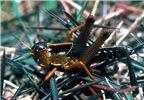 Fourth-instar, gregarious