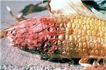 Symptoms on maize ear