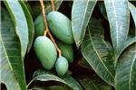 M. indica fruit