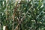 Infected sugarcane