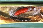 Pupa and natural enemy