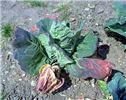 Foliar symptoms on cabbage