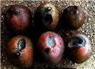 Damage symptoms on mangoes