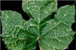 Symptoms on I. setosa leaf