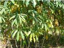 Xanthomonas axonopodis pv. manihotis