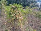 Fusarium oxysporum f.sp. passiflorae