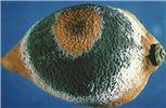 Penicillium digitatum