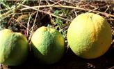 Symptoms on fruits