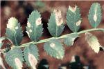 Symptoms on leaves