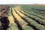 Symptoms on chickpea crop