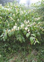 Stand of Japanese knotweed