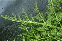 EU-IAS-Regulation-CABI-Response