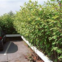 Japanese knotweed in a car park