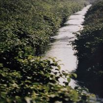 Japanese knotweed infested river