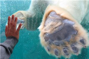 Polar Bear foot seen in contrast to a human hand at Copenhagen Zoo.